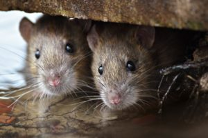 Kammerjäger Ratten