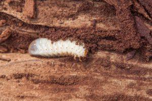 Schädlingsbekämpfung Holzwürmer