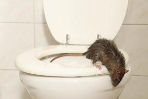 Schädlingsbekämpfung Ratten